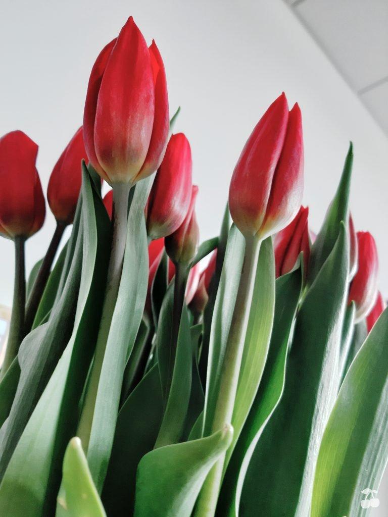 kwiaty, tulipany, zdjęcie Samsung galaxy a7